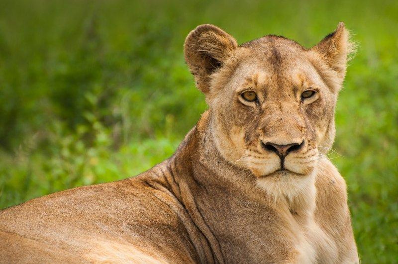 Silence the Inner Critic - Animal Instinct - Lioness
